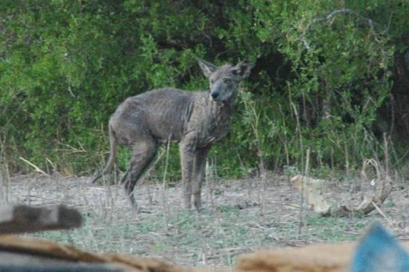 Coyote?